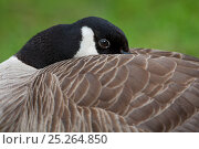 Купить «Canada Goose (Branta canadensis) resting, head partly tucked under wing, native to North America», фото № 25264850, снято 27 февраля 2020 г. (c) Nature Picture Library / Фотобанк Лори
