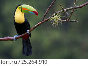 Купить «Keel billed toucan (Ramphastos sulfuratus) near Boca Tapada, Costa Rica. January 2011.», фото № 25264910, снято 12 июля 2020 г. (c) Nature Picture Library / Фотобанк Лори