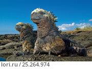 Купить «Marine Iguanas (Amblyrhynchus cristatus), the only marine lizard, basking on volcanic rocks. Galapagos Islands, Ecuador, South America. Book plate from Mark Carwardine's Ultimate Wildlife Experiences.», фото № 25264974, снято 25 мая 2018 г. (c) Nature Picture Library / Фотобанк Лори