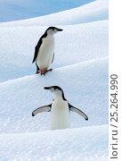 Купить «Chinstrap Penguins (Pygoscelis antarcticus) standing on ice. South Shetland Islands, Antarctica, January. Book plate from Mark Carwardine's Ultimate Wildlife Experiences.», фото № 25264990, снято 25 мая 2018 г. (c) Nature Picture Library / Фотобанк Лори