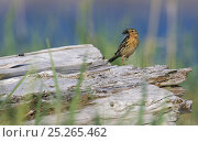 Red-throated pipit (Anthus cervinus) male with food in beak, Norway, July. Стоковое фото, фотограф Markus Varesvuo / Nature Picture Library / Фотобанк Лори