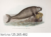 Купить «Illustration of Steller's Sea Cow (Hydrodamalis gigas) from 'Naturhistoriche Abbinldungen der Saeugethiere' by Heinrich Rudolph Schinz. later edition circa...», фото № 25265482, снято 20 марта 2019 г. (c) Nature Picture Library / Фотобанк Лори