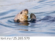 Купить «Sea Otter (Enhydra lutris) swimming at the sea surface on its back. Monterey, California, March. Book plate from Mark Carwardine's Ultimate Wildlife Experiences.», фото № 25265570, снято 25 мая 2018 г. (c) Nature Picture Library / Фотобанк Лори