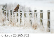Short-eared owl (Asio flammeus) perched on a fence post, Worlaby Carr, Lincolnshire, England, UK, December. Стоковое фото, фотограф Danny Green / 2020VISION / Nature Picture Library / Фотобанк Лори