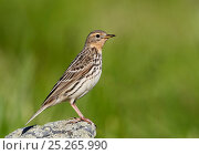 Red-throated pipit (Anthus cervinus) perched on rock, Norway, July. Стоковое фото, фотограф Markus Varesvuo / Nature Picture Library / Фотобанк Лори