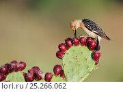 Купить «Golden-fronted woodpecker (Melanerpes aurifrons) male feeding on fruit of Texas prickly pear cactus (Opuntia lindheimeri) Dinero, Lake Corpus Christi, South Texas, USA.», фото № 25266062, снято 19 августа 2018 г. (c) Nature Picture Library / Фотобанк Лори