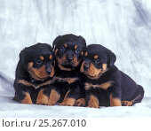 Domestic dog, Rottweiler, three puppies sitting in row, studio portrait. Стоковое фото, фотограф Yves Lanceau / Nature Picture Library / Фотобанк Лори