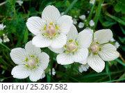 Купить «Grass of parnassus (Parnassia palustris) flowers, Caithness, Scotland, July», фото № 25267582, снято 17 июля 2018 г. (c) Nature Picture Library / Фотобанк Лори
