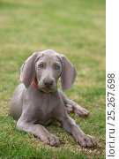 Domestic dog, Weimaraner, puppy resting in garden, France. Стоковое фото, фотограф Yves Lanceau / Nature Picture Library / Фотобанк Лори