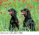 Купить «Domestic dog, Gordon Setter, adult, two sitting amongst long grass and poppies, France», фото № 25267786, снято 15 февраля 2019 г. (c) Nature Picture Library / Фотобанк Лори