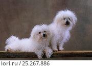 Купить «Domestic dog, Bolognese / Bichon Bolognese, two males, one lying down, studio portrait», фото № 25267886, снято 25 мая 2019 г. (c) Nature Picture Library / Фотобанк Лори