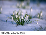 Купить «Snowdrops (Galanthus nivalis) in snow, UK February», фото № 25267978, снято 26 мая 2019 г. (c) Nature Picture Library / Фотобанк Лори