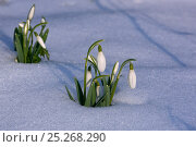 Купить «RF- Snowdrops (Galanthus nivalis) in snow, UK. February.», фото № 25268290, снято 26 мая 2019 г. (c) Nature Picture Library / Фотобанк Лори