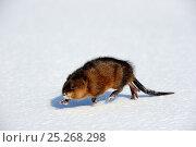Купить «Muskrat (Ondatra zibethicus) walking on snow, Quebec, Canada», фото № 25268298, снято 18 января 2019 г. (c) Nature Picture Library / Фотобанк Лори