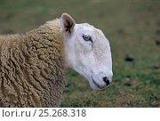 Купить «Domestic sheep (Ovis aries), Border Leicester Sheep, ram, France», фото № 25268318, снято 15 августа 2018 г. (c) Nature Picture Library / Фотобанк Лори