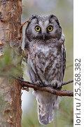 Tengmalm's / Boreal owl (Aegolius funereus) perched on branch, Kuusamo, Finland, May. Стоковое фото, фотограф Markus Varesvuo / Nature Picture Library / Фотобанк Лори