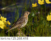 Red-throated pipit (Anthus cervinus) amongst flowers, Norway, July. Стоковое фото, фотограф Markus Varesvuo / Nature Picture Library / Фотобанк Лори
