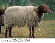 Купить «Domestic sheep (Ovis aries), Solognot, ram with thick wool, France», фото № 25268554, снято 15 августа 2018 г. (c) Nature Picture Library / Фотобанк Лори