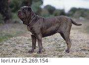 Domestic dog, Neopolitan Mastiff / Mastino Napoletano, standing portrait, France. Стоковое фото, фотограф Yves Lanceau / Nature Picture Library / Фотобанк Лори