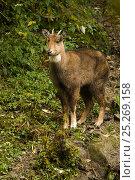 Купить «Himalayan / Gray goral (Naemorhedus goral), captive, Gangtok, Sikkim, India, near threatened», фото № 25269158, снято 21 июля 2018 г. (c) Nature Picture Library / Фотобанк Лори