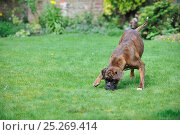 Купить «Boxer sniffing ground in garden», фото № 25269414, снято 14 мая 2018 г. (c) Nature Picture Library / Фотобанк Лори
