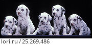 Купить «Domestic dog, Dalmatian, five puppies in a row, studio portrait», фото № 25269486, снято 25 мая 2019 г. (c) Nature Picture Library / Фотобанк Лори