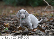 Domestic dog, Weimaraner, puppy on leaves, France. Стоковое фото, фотограф Yves Lanceau / Nature Picture Library / Фотобанк Лори
