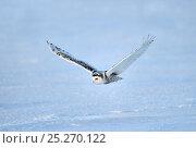 Купить «Snowy owl (Bubo scandiaca) flying over snow, Quebec, Canada, March», фото № 25270122, снято 2 июня 2020 г. (c) Nature Picture Library / Фотобанк Лори