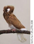 Купить «Domestic Pigeon (Jacobin).», фото № 25270338, снято 22 февраля 2019 г. (c) Nature Picture Library / Фотобанк Лори