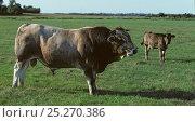 Купить «Domestic cattle (Bos taurus) Nantaise cow, bull, Loire-Atlantique, France», фото № 25270386, снято 14 августа 2018 г. (c) Nature Picture Library / Фотобанк Лори