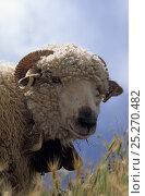 Купить «Domestic sheep (Ovis aries),  Thones Marthod, ram, France», фото № 25270482, снято 15 августа 2018 г. (c) Nature Picture Library / Фотобанк Лори