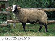 Купить «Domestic sheep (Ovis aries), Bizet Sheep, ram in pen, France», фото № 25270510, снято 15 августа 2018 г. (c) Nature Picture Library / Фотобанк Лори