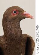 Купить «Domestic Pigeon (Roubaisien) portrait.», фото № 25270746, снято 22 февраля 2019 г. (c) Nature Picture Library / Фотобанк Лори