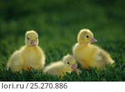 Купить «Domestic goose (Anser anser domesticus) White Bourbonnais goslings sitting in grass, France.», фото № 25270886, снято 7 июля 2020 г. (c) Nature Picture Library / Фотобанк Лори