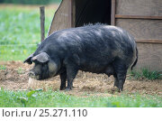 Купить «Domestic pig (Sus scrofa domestica) Gascon sow, standing beside pig sty, France.», фото № 25271110, снято 20 января 2018 г. (c) Nature Picture Library / Фотобанк Лори