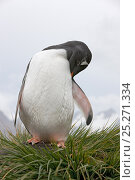 Купить «Gentoo Penguin (Pygoscelis papua) preening, Prion Island, South Georgia Island, February», фото № 25271334, снято 26 марта 2019 г. (c) Nature Picture Library / Фотобанк Лори