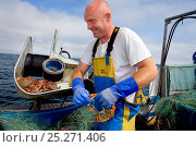 Купить «Fisherman removing a Spiny spider crab (Maja squinado) from a tangle net on a small fishing boat, St. Ives, Cornwall, England, UK, June 2011 Model released», фото № 25271406, снято 24 мая 2018 г. (c) Nature Picture Library / Фотобанк Лори