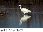 Купить «Little Egret (Egretta garzetta) in water. Lodmoor RSPB reserve, Dorset, UK, January.», фото № 25271694, снято 20 октября 2018 г. (c) Nature Picture Library / Фотобанк Лори