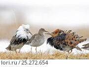 Купить «Ruffs displaying (Philomachus pugnax) Agapa River, Taimyr Peninsula, Siberia, Russia», фото № 25272654, снято 17 октября 2019 г. (c) Nature Picture Library / Фотобанк Лори