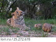 Купить «Leopard (Panthera pardus) low angle view of adult looking upwards, Okavango Delta, Botswana», фото № 25272678, снято 19 октября 2018 г. (c) Nature Picture Library / Фотобанк Лори