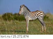 Burchell's Zebra (Equus quagga) newborn foal in profile. Masai Mara, Kenya. Стоковое фото, фотограф Andy Rouse / Nature Picture Library / Фотобанк Лори