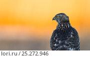Купить «Juvenile Northern goshawk (Accipiter gentilis) portrait at sunrise, Southern Norway, December», фото № 25272946, снято 26 марта 2019 г. (c) Nature Picture Library / Фотобанк Лори