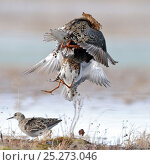Купить «Ruffs displaying and fighting (Philomachus pugnax) Agapa River, Taimyr Peninsula, Siberia, Russia», фото № 25273046, снято 17 октября 2019 г. (c) Nature Picture Library / Фотобанк Лори