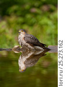 Купить «Sparrowhawk (Accipiter nisus) in water. Kiskunsagi National Park, Hungary, May.», фото № 25273162, снято 16 декабря 2018 г. (c) Nature Picture Library / Фотобанк Лори