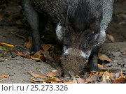 Купить «Philippines warty pig (Sus philippensis) foraging in ground, captive», фото № 25273326, снято 26 марта 2019 г. (c) Nature Picture Library / Фотобанк Лори