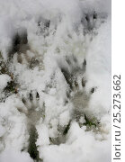 Alpine marmot (Marmota marmota) footprints in snow, Hohe Tauern National Park, Austrian Alps, Austria, May. Стоковое фото, фотограф Konstantin Mikhailov / Nature Picture Library / Фотобанк Лори