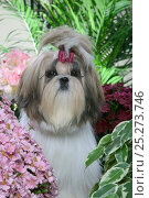 Shih Tzu / Chrysanthemum Dog, puppy amongst chrysanthemum flowers, with bow in hair, France. Стоковое фото, фотограф Yves Lanceau / Nature Picture Library / Фотобанк Лори