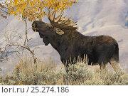 Купить «Bull Moose (Alces alces) feeding, Grand Teton National Park, Wyoming, USA, October», фото № 25274186, снято 23 июля 2018 г. (c) Nature Picture Library / Фотобанк Лори