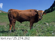 Купить «Domestic cattle (Bos taurus) Tarentaise cow, young bull, 18 months, France», фото № 25274262, снято 17 августа 2018 г. (c) Nature Picture Library / Фотобанк Лори