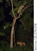 Купить «Leopard (Panthera pardus) up tree at night, with Spotted hyena below (Crocuta crocuta) Okavango Delta, Botswana», фото № 25274518, снято 19 сентября 2018 г. (c) Nature Picture Library / Фотобанк Лори